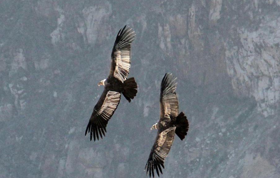 condors peru