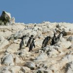 Pinguins Ballestas